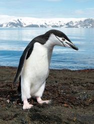 Chinstrap Penguin_photo credit Christopher Michel