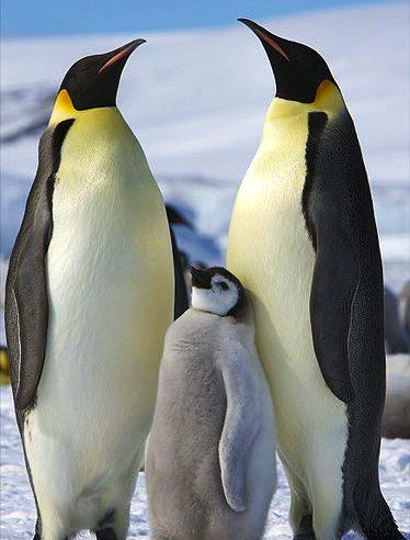 Emperor Penguins_photo credit Ian Duffy
