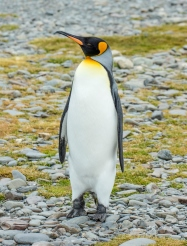King Penguin_photo credit Andrew Shiva